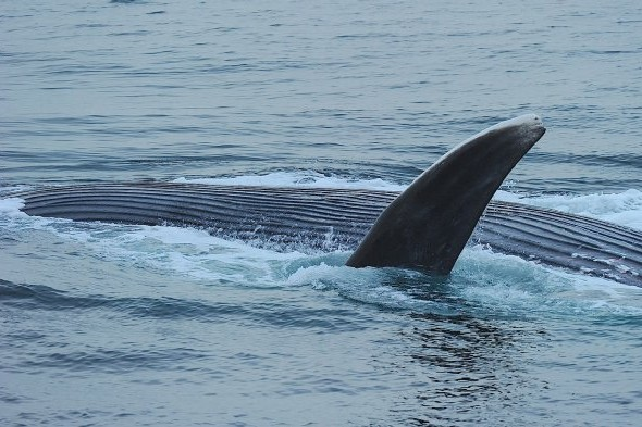 There is a possibility of seeing blue whales. © Rob Jordan/Heatherlea