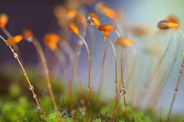 Moss spores with water droplets. © Arwen Dyer