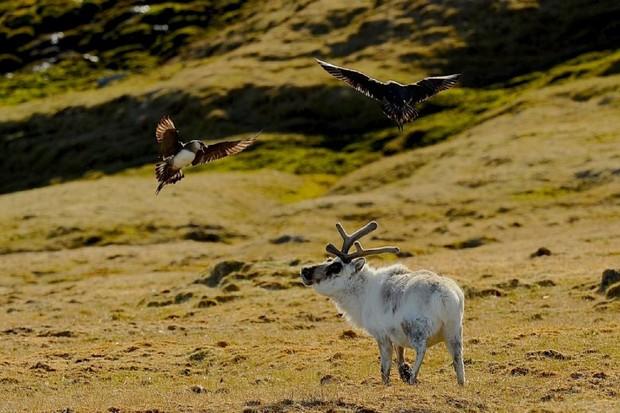 Svalbard reindeer being mobbed by Arctic skuas in Spitsbergen. © Rob Jordan/Heatherlea