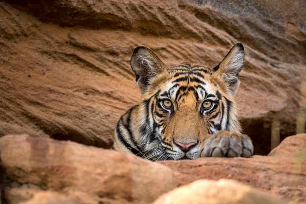 Male cub hiding from the midday sun in Bandhavgarh National Park, India. © BBC NHU/Theo Webb
