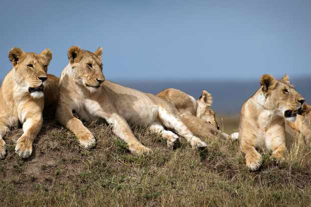The Marsh Pride - led by Charm - are a close-knit family of mothers and their growing cubs. © BBC NHU/Louis Rummer-Downing