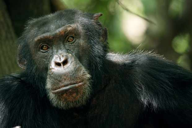 The Dynasties chimpanzee episode focusses on David, an alpha male in Senegal. © BBC NHU