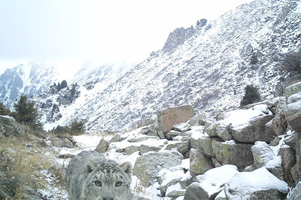 Snow leopard photographed by a camera trap. © University of Cumbria