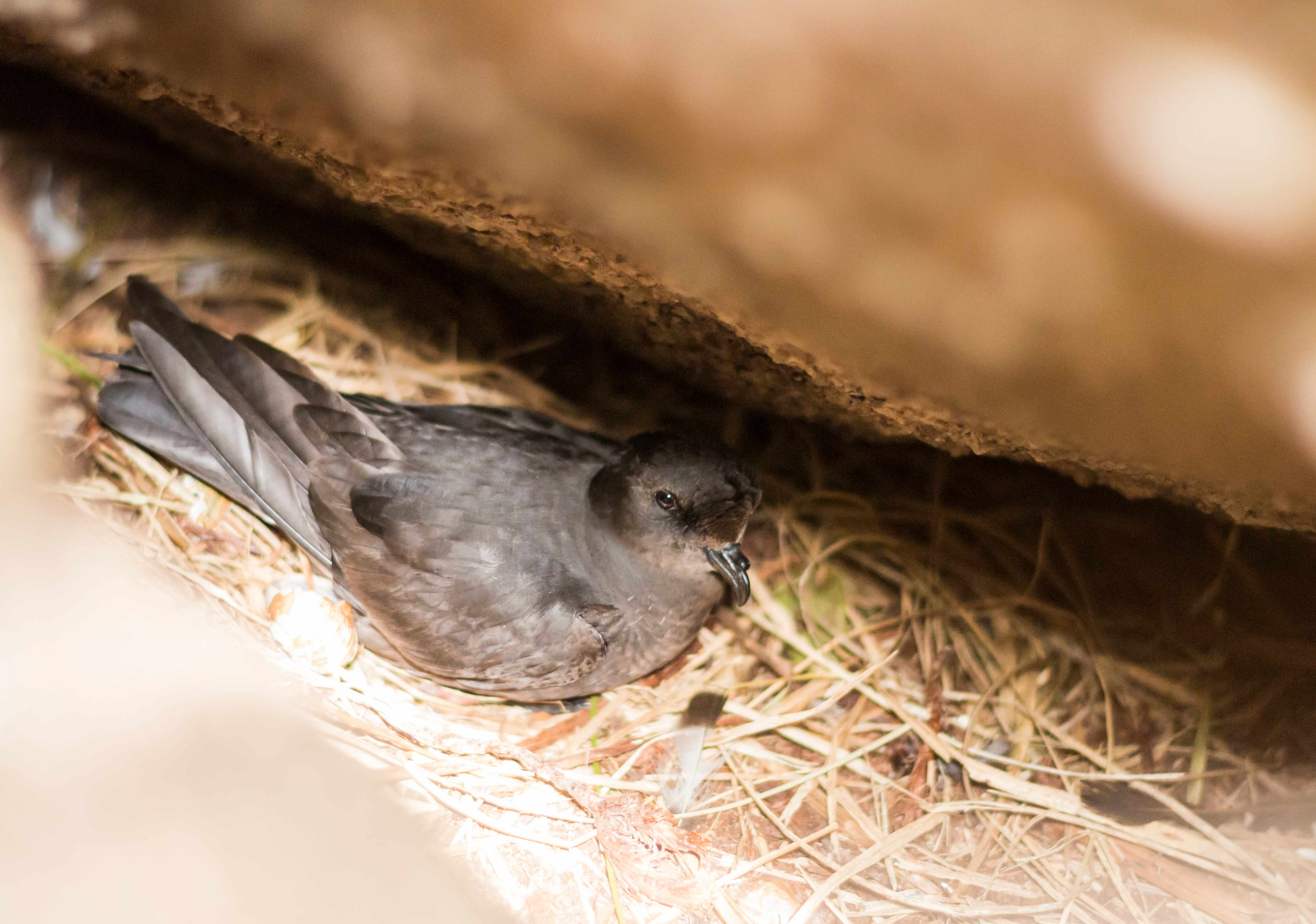 Storm petrel Hydrobates pelagicus, adult sitting on nest beneath a large boulder, Isles of Scilly, UK, June. © Ed Marshall
