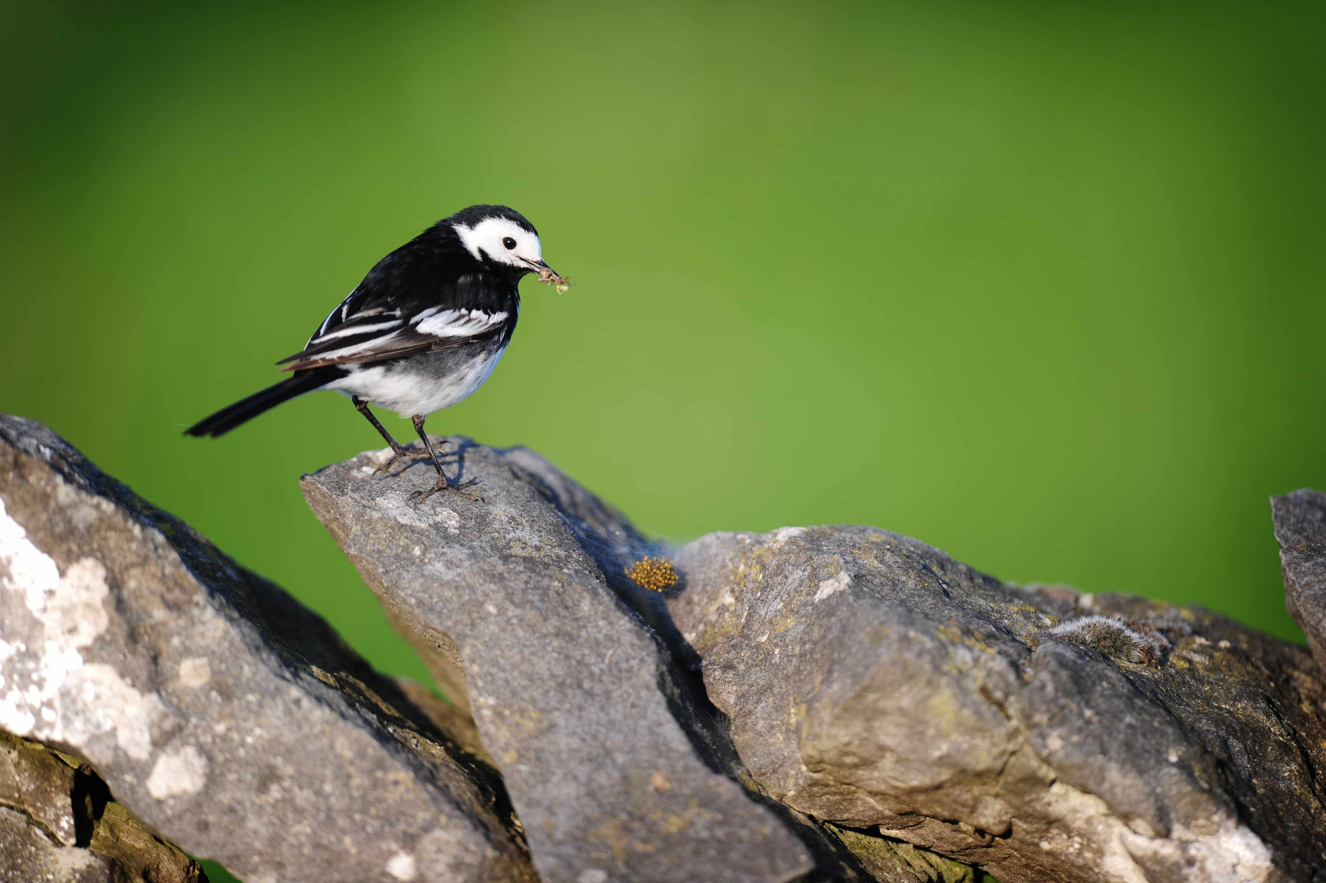 Pied wagtail with dinner for her young