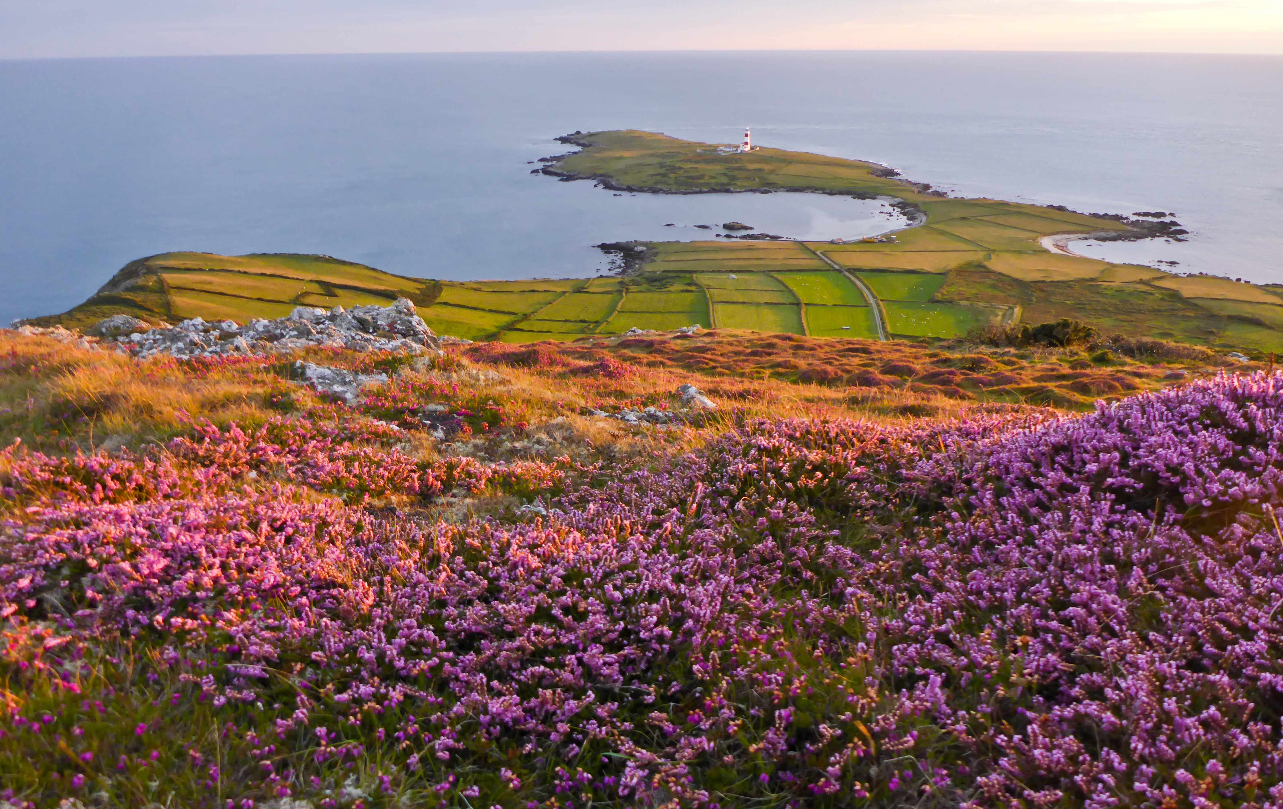 Come late summer, the 170-foot high mountain is covered in the purple-pink colour of ling heather. In some areas of the island this species makes up an important coastal habitat known as maritime heath. © Ben Porter