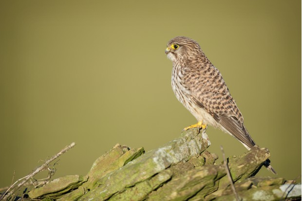 A young kestrel