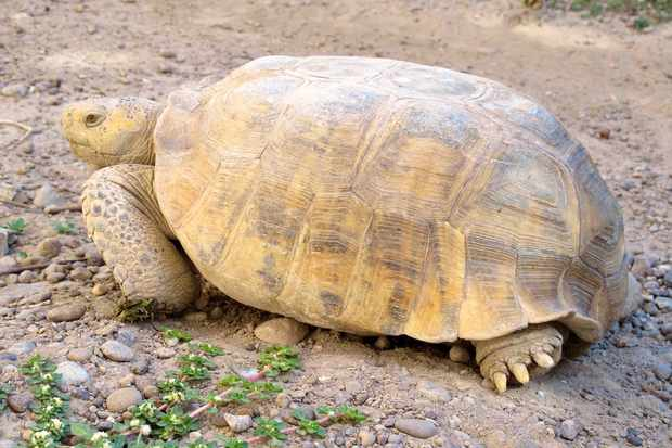 The Bolson tortoise is now Critically Endangered. © Eric V. Goode