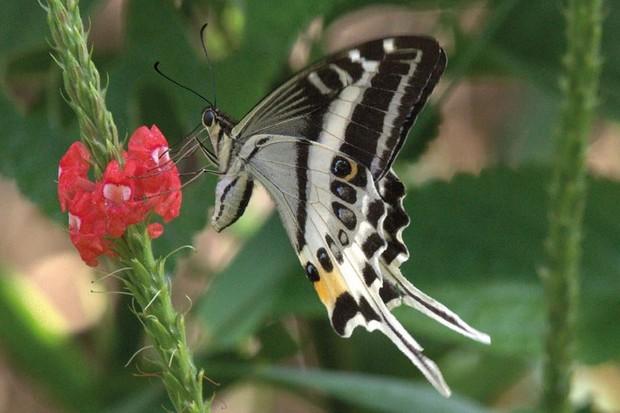 Papilio natewa. © Greg Kerr