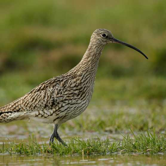 Curlew walking in shallow water at RSPB Geltsdale in Cumbria. © Andy Hay/RSPB