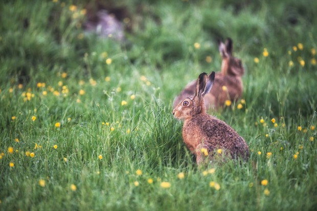 Buttercup hares