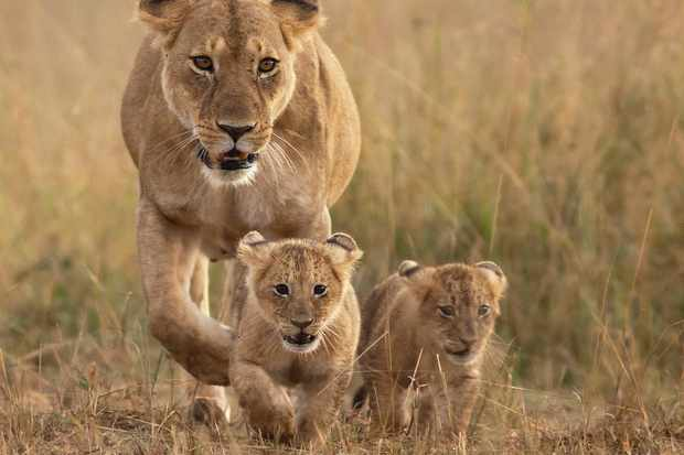 Lioness with two cubs. © Santanu Nandy/Getty