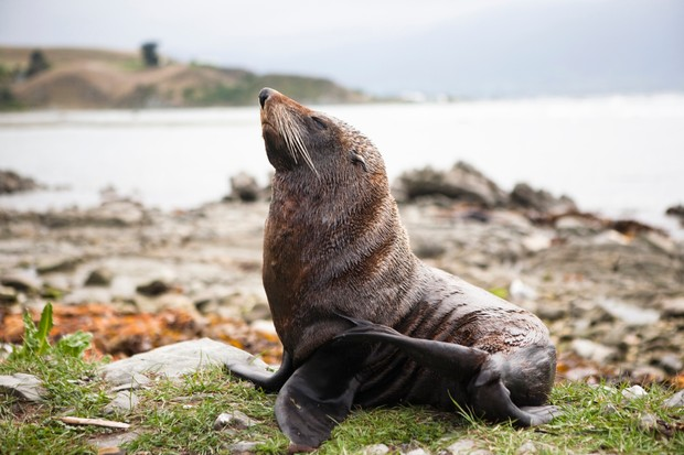New Zealand fur seal. © Matthew Micah Wright/Getty