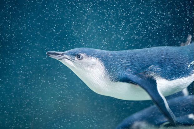 Little blue penguin. © 4FR/Getty