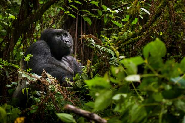 Mountain gorilla in Volcanoes National Park, Rwanda. © Art Wolfe/Mint Images/Getty