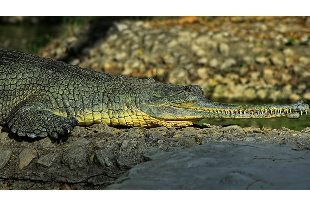Gharial crocodile warming up in sun. © CREATIVITY HAS NO LIMIT. AN IMAGE CAN TELL MILLION WORDS/Getty