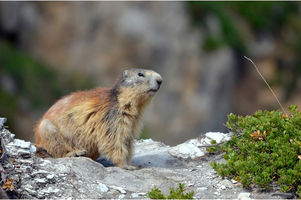 Alpine marmot (Marmota marmota) on rock, in the French Alps, Savoie department at La Plagne