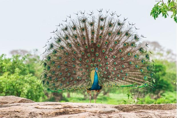Wild peacock in Yala National Park, Sri Lanka. © Jeliva/Getty