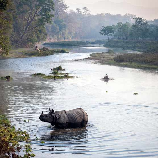 Greater one-horned (Indian) rhinoceros crosing a river in chitwan National Park, Nepal. © Jacek Kadaj/Getty