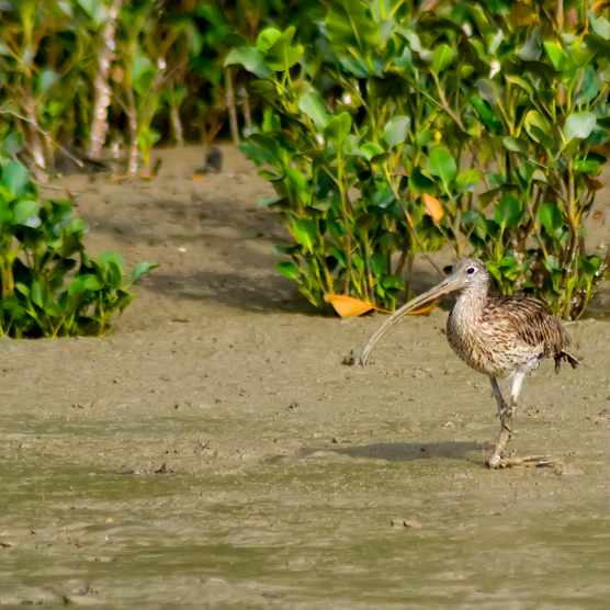 The far eastern curlew (N.madagascariensis) is the largest curlew species. © Auscape/UIG/Getty