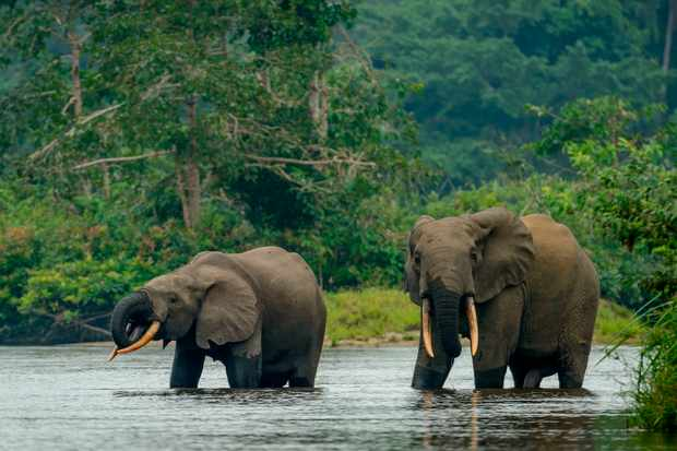African forest elephant in Lekoli River, Odzala-Kokoua National Park, Republic of the Congo. © Education Images/UIG/Getty Images