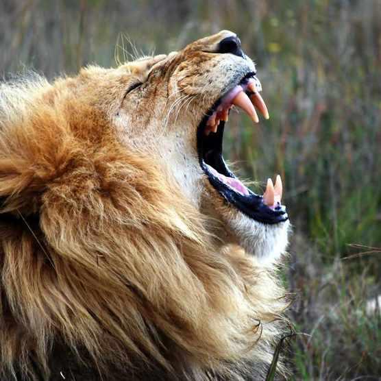 Close-up of lion roaring. © Mark Chilton/EyeEm/Getty