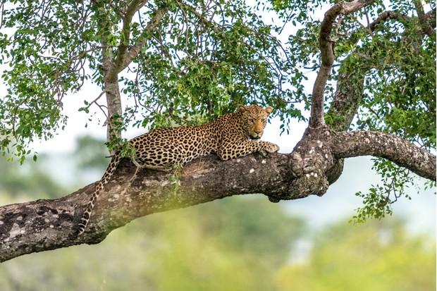 A leopard relaxing in a tree © laurenpretorius/Getty