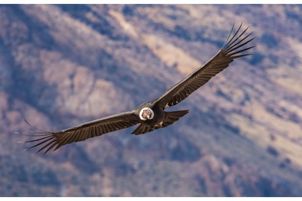 Andean Condor in Patagonia. © Pablo Cersosimo/Getty