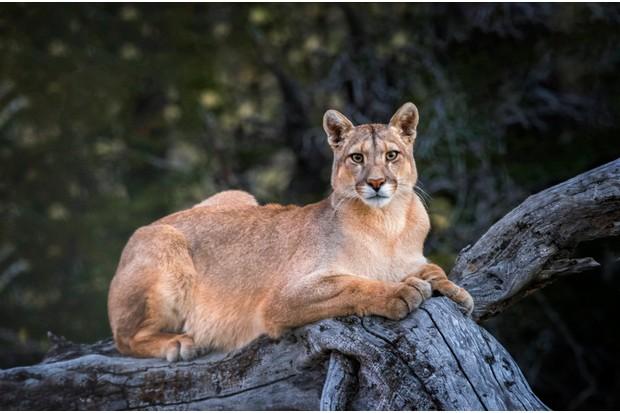 Puma in Torres del Paine National Park, Patagonia, Chile. Torres del Paine National Park in Patagonia, Chile. © Ignacio Palacios/Getty