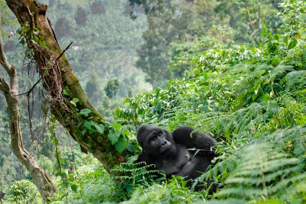 A mountain gorilla in Bwindi Impenetrable Forest National Park, Uganda. © Andrey Gudkov/Getty