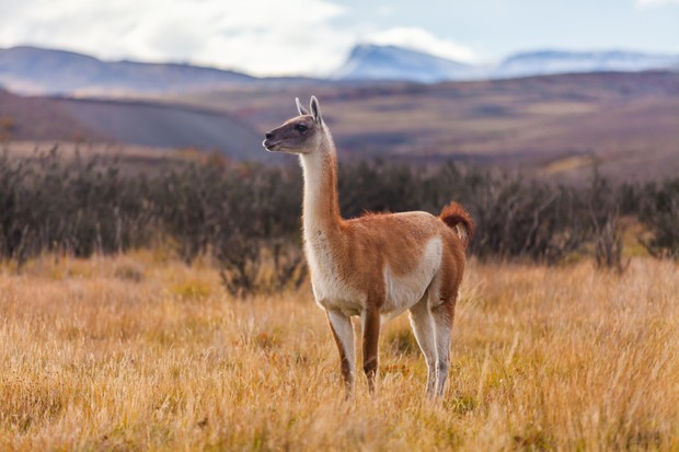 Guanaco in Torres del Paine, National Park, Patagonia, Chile. © Anton Petrus/Getty