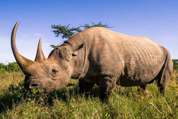 Black rhinos are one of the five remaining extant rhino species. © Pierre-Yves Babelon/Getty