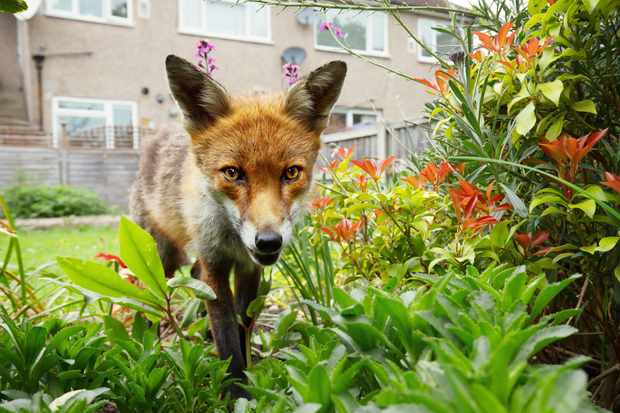 Red fox standing in the garden with flowers near the house in a suburb of London