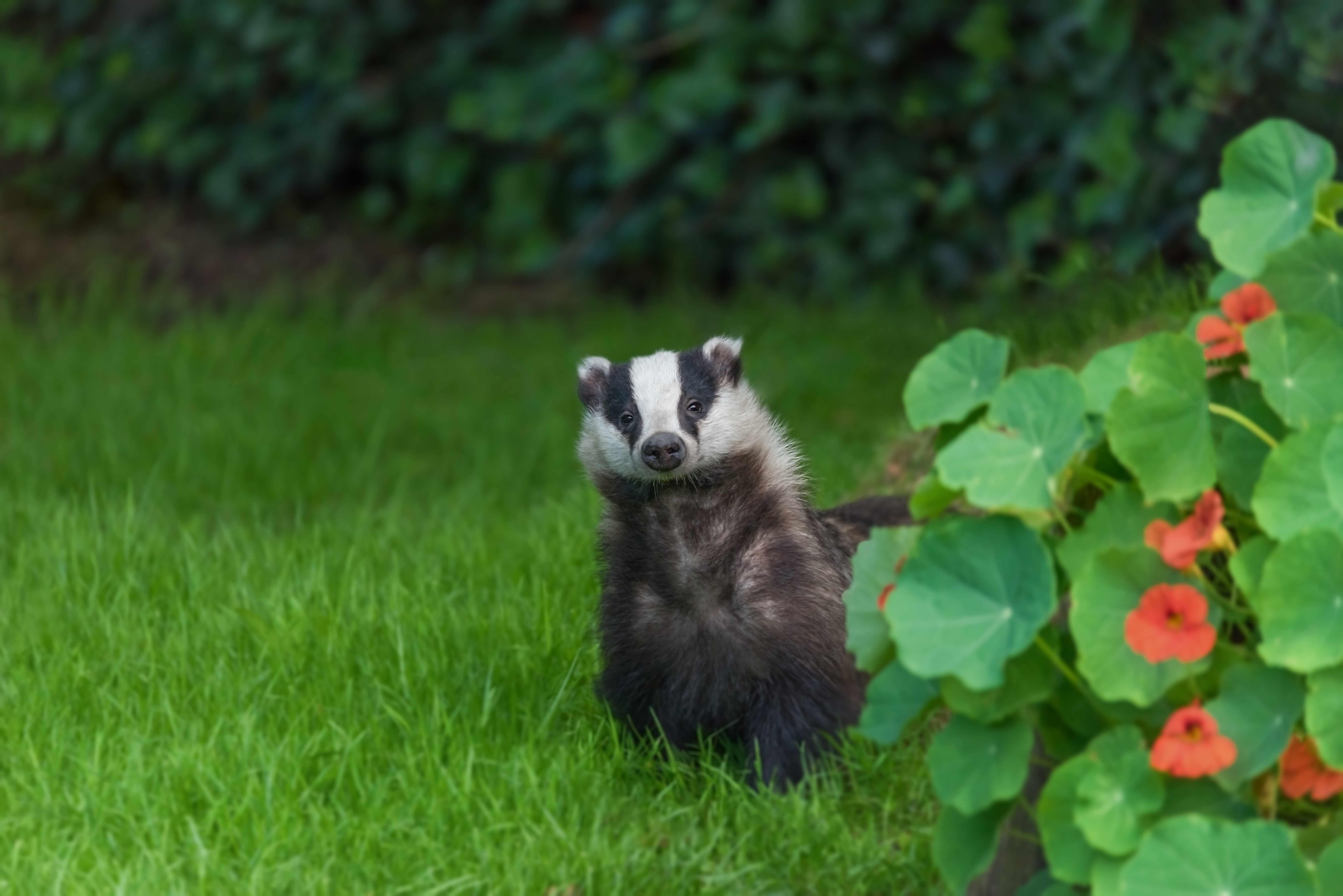 Young wild badger visiting urban garden. © EncroVision/Getty