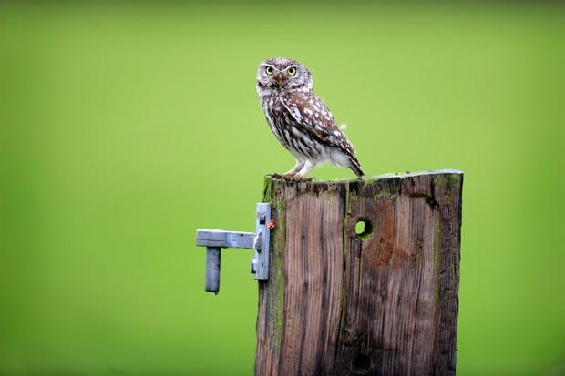 A4 Little Owl On Post