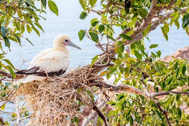 Red-footed booby Ed Marshall