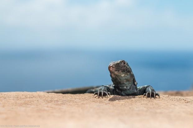 Redonda Ground Lizard 6066 Ed Marshall