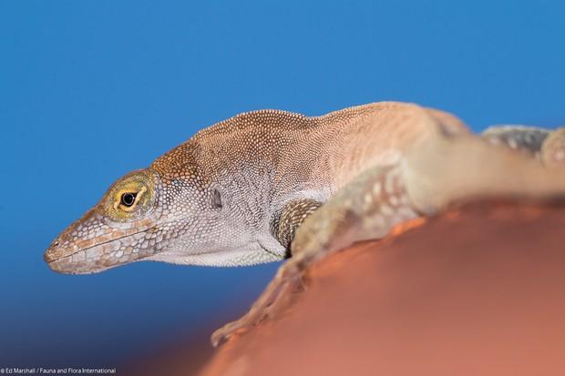 Redonda tree lizard 7275 Ed Marshall