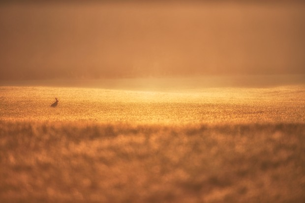 The Hare and The Field of Gold-Edit