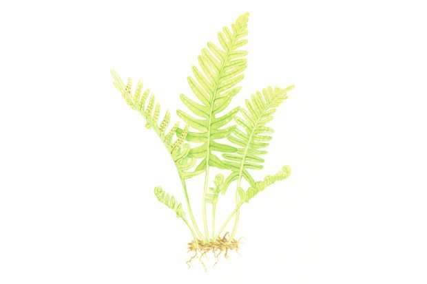 Common polypody fern. © Felicity Rose Cole