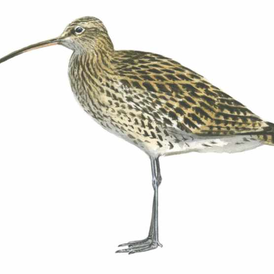 A male curlew in winter plumage. © Dan Cole/The Art Agency
