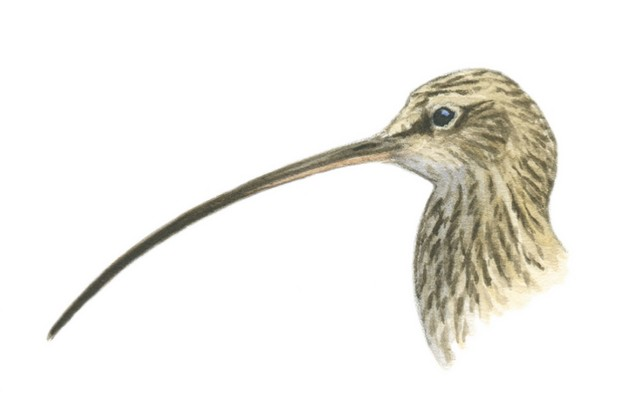 Female curlew with long bill. © Dan Cole/The Art Agency