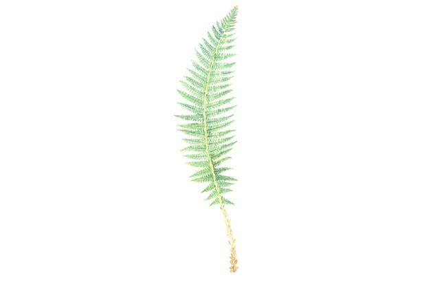 Hard shield fern. © Felicity Rose Cole