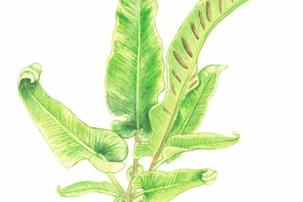 How to identify ferns with our illustrated guide