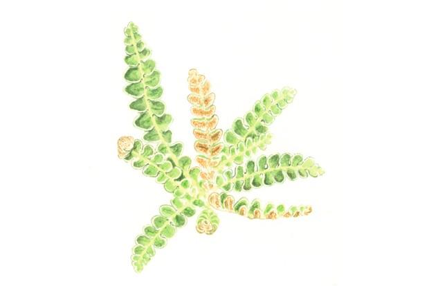 Rustyback fern. © Felicity Rose Cole