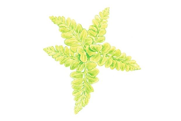 Sea spleenwort. © Felicity Rose Cole