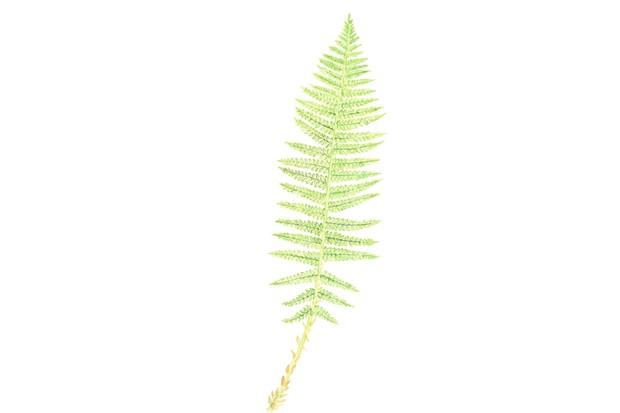 Soft shield fern. © Felicity Rose Cole