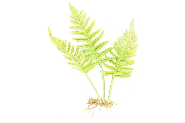 Southern polypody fern. © Felicity Rose Cole