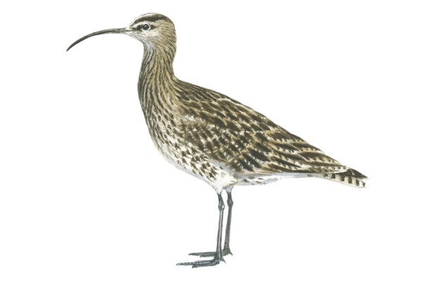 An adult whimbrel in autumn. © Dan Cole/The Art Agency