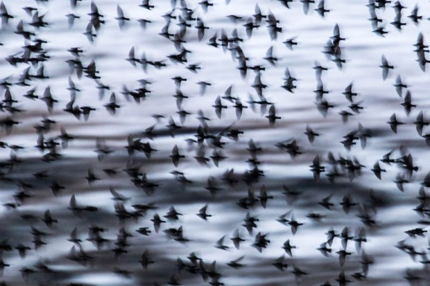 """""""It was amazing watching these starlings as they came back to roost each evening. I experimented with using a slow shutter speed to try to capture the energy of their movement. I love this technique because looking back over my images afterwards is almost like entering another world."""" © Mairi Eyres"""